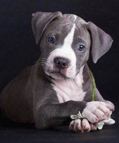 This pitbull puppy will make you happy. Dogs are incredible companions. Cute Puppies, Cute Dogs, Dogs And Puppies, Doggies, Baby Puppies, Beautiful Dogs, Animals Beautiful, Baby Animals, Cute Animals