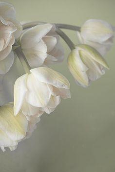 Yellow Tulip Still Life Photograph Flower Wall by JudyStalus, $17.00