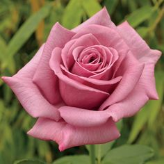 Pure Posh Hybrid Tea