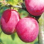 (Reine) Victoria - Fruitbomen.net Mobiel; een uur lang gezocht, wat blijkt? Leveren ze niet buiten Z Holland en Utrecht. Tja, en nu? Wij willen de laagstam leivorm van ca 1,2m hoog.