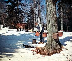 Tapping maple trees for syrup in Vermont.