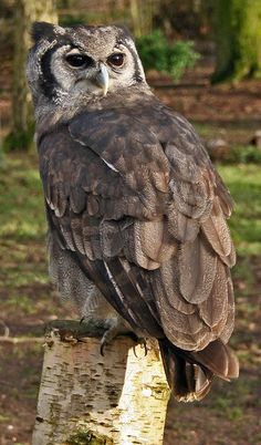 Verreaux's Eagle Owl -