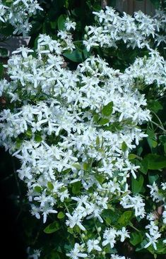 1000 Images About White Fragrant Flowers On Pinterest