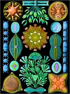 Beautiful diatoms, Ernst Haeckel.