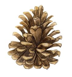 drawings of pine cones and pine boughs Pine Cone Drawing Pinecone in color drawing Simple Line Drawings, Colorful Drawings, Art Drawings, Botanical Illustration, Botanical Prints, Watercolor Illustration, Pine Cone Art, Pine Cones, Pine Cone Drawing