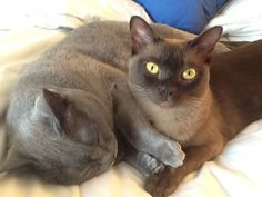 Lexington (Blue Burmese) and Loki (Champagne Burmese) #Burmese #cats