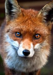 by Gemma Malenoir #fox #safarious #wildlife