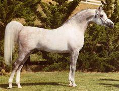 *El Shaklan (Shaker El Masri × *Estopa)  1975-2000 grey stallion bred by Om El Arab -*El Shaklan and his mother, *Estopa (Tabal × Uyaima) founded a dynasty of quality Arabians of Spanish and Egyptian bloodlines, the famed Golden Cross.