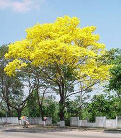 Árboles amarillos de los que no recuerdo el nombre.