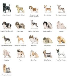 ... Small Hypoallergenic Dogs, Belgian Malinois Puppies and Toy Dog Breeds