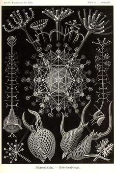 Ernst Haeckel was an eminent German biologist, naturalist, philosopher, physician, professor and artist who discovered, described and named thousands of new species, mapped a genealogical tree relating all life forms, and coined many terms in biology, including anthropogeny, ecology, phylum, phylogeny and stem cell.
