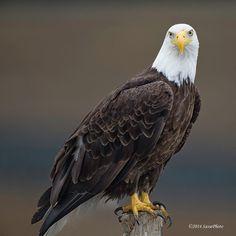 Beautiful eagle