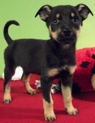 Georgia is an adoptable Doberman Pinscher Dog in Struthers, OH. Birthdate: 1/28/13 Gender: Female, spayed Breed: Doberman/Australian Shepherd mix Siblings: Ohio, Georgia, Jersey, York, Rhode, Texas, C...