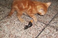 Nenen brincando com o meu gatinho de bali - 2 meses