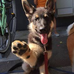Hello sweet baby and high five to you too! German shepherd Puppy