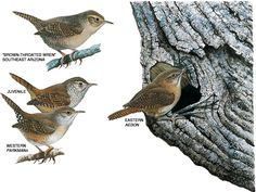 House Wrens, House Wren Pictures, House Wren Facts - National ...