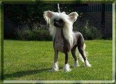 Chinese Crested Dog - Lemiz Fantine Jw, Female hairless