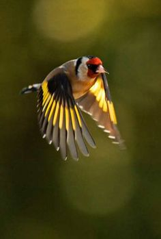Goldfinch | Flickr - Photo Sharing!