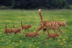 Ma and her little gang! Orange kitties! Just like Tigger Kenzi/Boots and their orange baby gang! SOOOO CUTE!