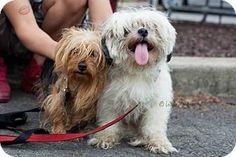 Union, NJ - Yorkie, Yorkshire Terrier. Meet Snooky, a dog for adoption. http://www.adoptapet.com/pet/13280922-union-new-jersey-yorkie-yorkshire-terrier