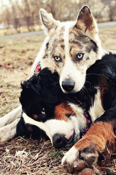 I so would love to greet and hang with these two everyday. A Bernese Mountain Dog and Husky Mix.