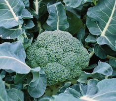 Tips for Growing Broccoli from Seed for Fall Crops Growing Broccoli, Survival Life Hacks, Survival Food, Emergency Food, Survival Guide, Fall Crops, Gardening Books, Companion Planting, Planting