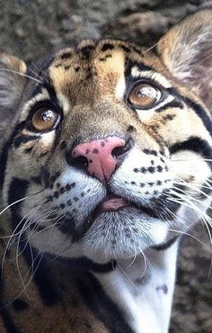 Just look at his sweet little face ! My heart just melted ! Small Wild Cats, Big Cats, Cats And Kittens, Cute Cats, Extinct Animals, Zoo Animals, Animals And Pets, Cute Animals, Jaguar