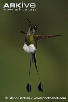 Booted racket-tail flying