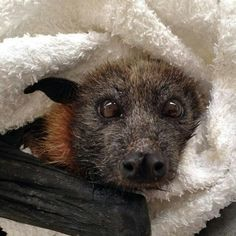Gray Headed Flying Fox
