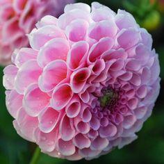 Dahlia 'Stolz von Berlin' - 3 tubers - Rose Cottage Plants