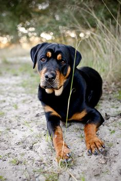 rottweiler and lab mix, the dog i grew up with was similar to this. She was teh most wonderfull dog ever!!! Miss you Abby.