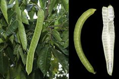 Seed Morphologist, Wolfgang Stuppy, has us salivating over the remarkable fruits of the ice cream bean (Inga edulis). Fruit Plants, Fruit Trees, Soil Improvement, Seed Bank, Apple Seeds, Fresh Apples, Delicious Fruit, Eating Raw, Glass House