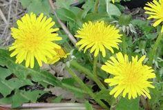 Une plante anti-cancer qui pousse tout près de chez vous. Le Pissenlit (Taraxacum officinale) !