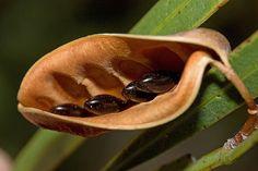 Acacia Seed Pod