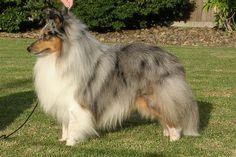 Merle Shetland Sheepdog Why: Curious Welsh Sheepdog, Shetland Sheepdog Puppies, Sheltie Puppies For Sale, Sheepdog Tattoo, Dog Dna Test, Komondor, Herding Dogs, Rough Collie, Pets