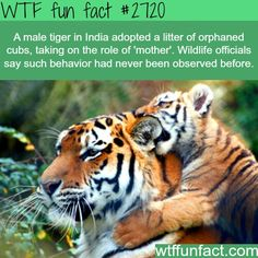 unbelievable-facts: a male tiger in India adopted a litter of orphaned cubs, taking on the role of 'mother'. Wildlife officials say such b. Animals And Pets, Baby Animals, Funny Animals, Cute Animals, Exotic Animals, Wild Animals, Wtf Fun Facts, Funny Facts, Random Facts