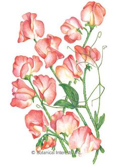 Annual. Princess Elizabeth has lovely salmon pink and cream petals. A light, sweet scent enhances their exquisite beauty as cut flowers. Sweet peas are a wonderful component in the garden, as they can be trained to climb, allowed to trail, or cascade down a rock wall.