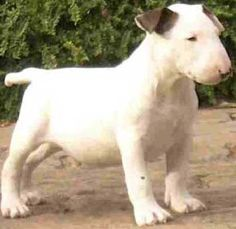My Favorite Breed Of Dog Bull Terrier Now That I Know One Not So Sure They Are My Favorite Lol Bull Terrier Puppy English Bull Terriers Cute Baby Animals