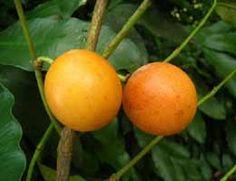 Para que serve a fruta Bacupari? A fruta do bacupari possui excelentes benefícios para uma vida com mais saúde. A fruta é rica em antioxidantes e possui alta concentração de ingredientes anticancerígenos naturais.  A fruta do bacupari pode ser encontrada em todo território nacional. A fruta também é conhecida popularmente pelos nomes: bacopari, bacoparé, mangostão-amarelo, bacuripari, uvacupari, laranjinha, entre outros, dependendo da região.