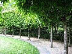 Hornbeam hedge, Träd i häckplantering som en pelargång. Landscape Architecture, Landscape Design, Garden Design, House Landscape, Hornbeam Hedge, Garden Hedges, Sunken Garden, Back Gardens, Outdoor Plants