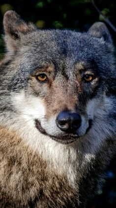 Wolves are my favourit ceature on this earth