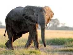 Nearly 10 years of talks about legalising the international trade in ivory have been scrapped amid efforts to save the elephant from rampant poaching. The population of the African elephant has fallen by more than 110,000 in just a decade, leaving a population of some 415,000.