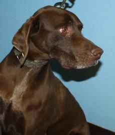 Petango.com – Meet Chip, a 13 years Pointer, German Shorthaired available for adoption in KALISPELL, MT