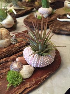 Driftwood pieces featuring air plants shells moss coral MADE TO ORDER decorative drift wood wedding decor gift idea Driftwood Planters, Driftwood Projects, Driftwood Art, Seashell Crafts, Beach Crafts, Seashell Ornaments, Seashell Art, Starfish, Succulents In Containers