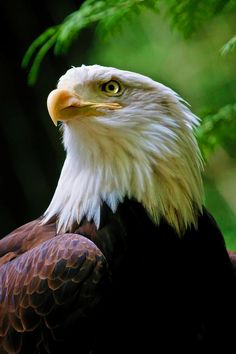 Eagle Photograph - Painted Eagle by Athena Mckinzie