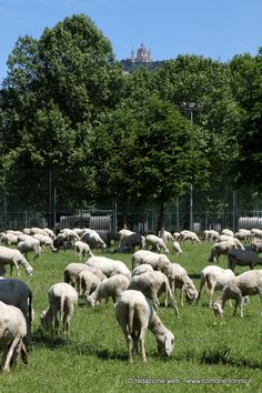 Pecore al pascolo nel parco della Colletta #Torino