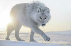 White Wolf : Arctique: Photographer captures beautiful imagery of Arctic wildlife