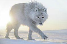 White Wolf : Arctique: Photographer captures beautiful imagery of Arctic wildlife