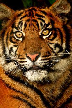 Sumatran Tiger Cub - Taken at Chester Zoo, Uk. Most Beautiful Animals, Beautiful Cats, Beautiful Creatures, Tiger Pictures, Animal Pictures, Big Cats, Cats And Kittens, Animals And Pets, Cute Animals