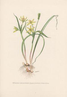 1954-gelbe Stern von Bethlehem botanische Print Vintage Lithographie Flora Illustration Gagea Pratensis Botanik Wiesen Gelbstern Lily Liliaceae